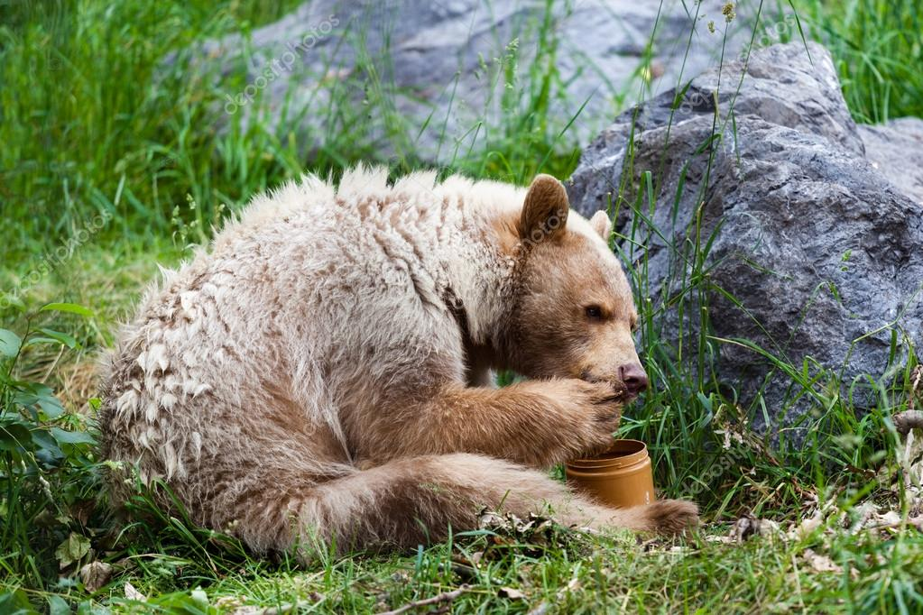 Kermode (Spirit) Bear Eating Honey