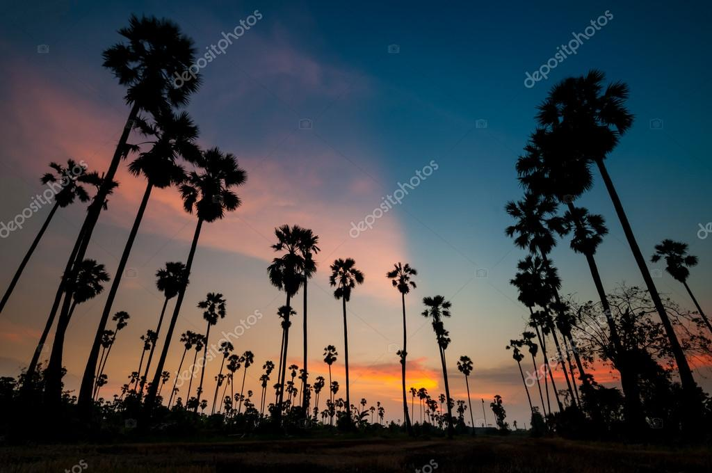 silhouette of sugar palm tree on sunset