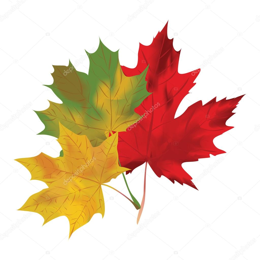 Autumn maple leaves on a white background. Red, green and yellow maple. Vector illustration.