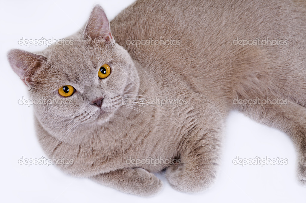 Kot Brytyjski Liliowy Zdjęcie Stockowe Didecs 49209259