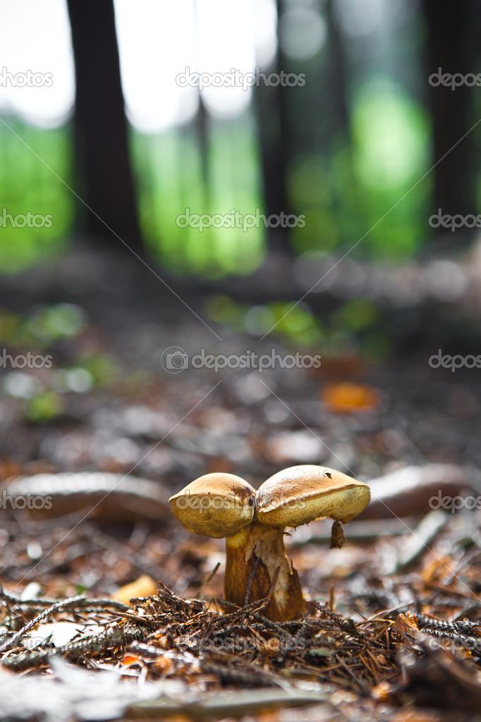 Boletus mushroom close up