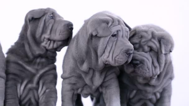 Four Shar Pei Puppies Sitting in the Studio