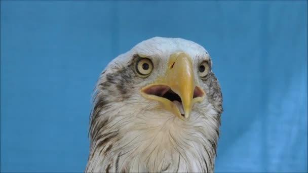 Weißkopfseeadler schlägt Alarm.