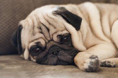 Cute pug dog lying resting on the floor
