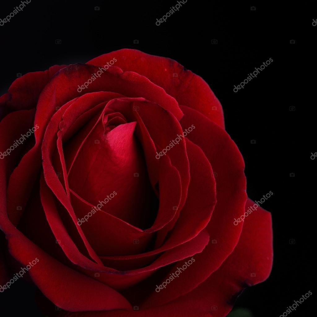 Sfondo Rosa Rossa Su Nero Fiore Rosa Rossa Su Sfondo Nero Foto