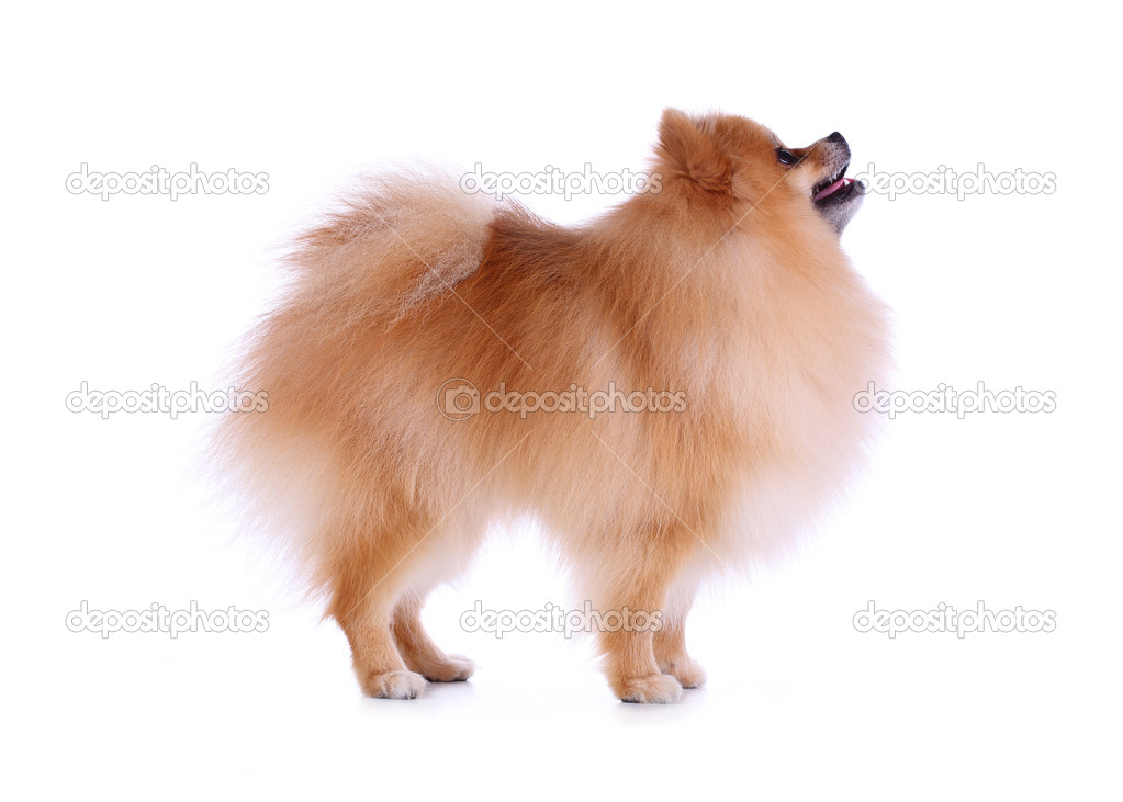 Cute Pet Brown Pomeranian Grooming Dog Isolated Stock Photo
