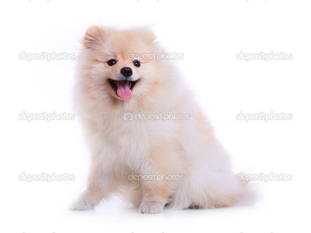 Cute Pomeranian Puppies Wallpaper White Pomeranian Puppy Dog Cute Pet Stock Photo C Sutichak 50619665