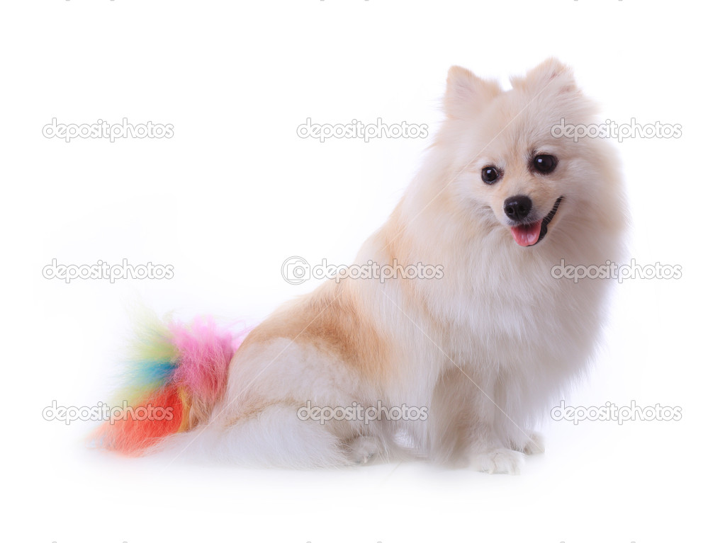 White Pomeranian Dog Grooming Colorful Tail Isolated Stock Photo