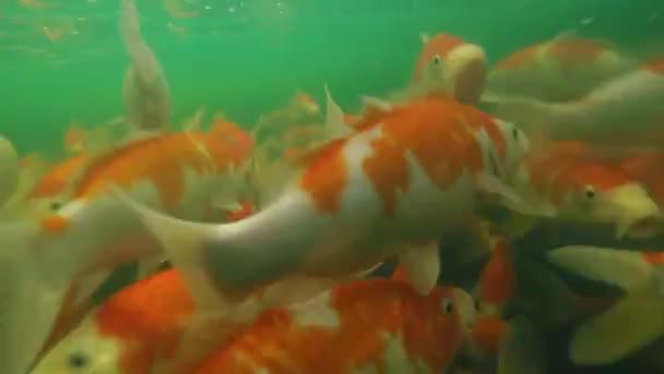Koi rybník podvodní video