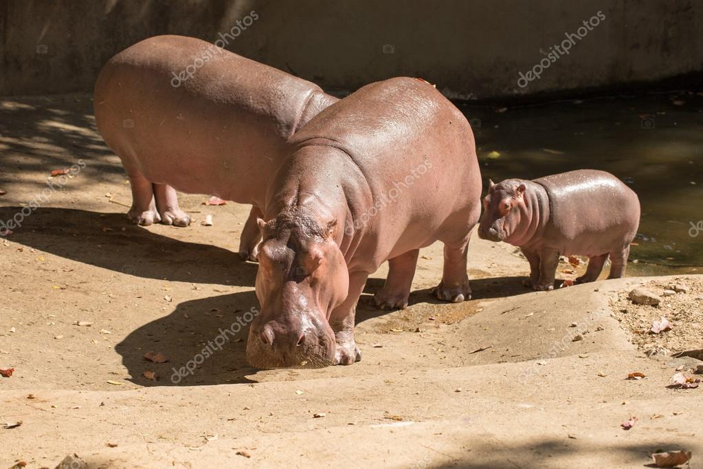 family hippos