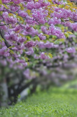 Beautiful sakura garden