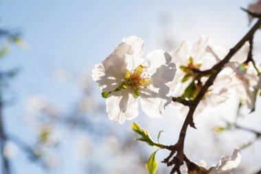 Beautiful almond tree flowers in  spring