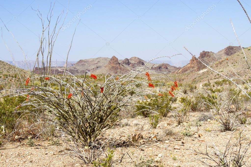 Blooming Ocotillo in Chisos Mountain Basin