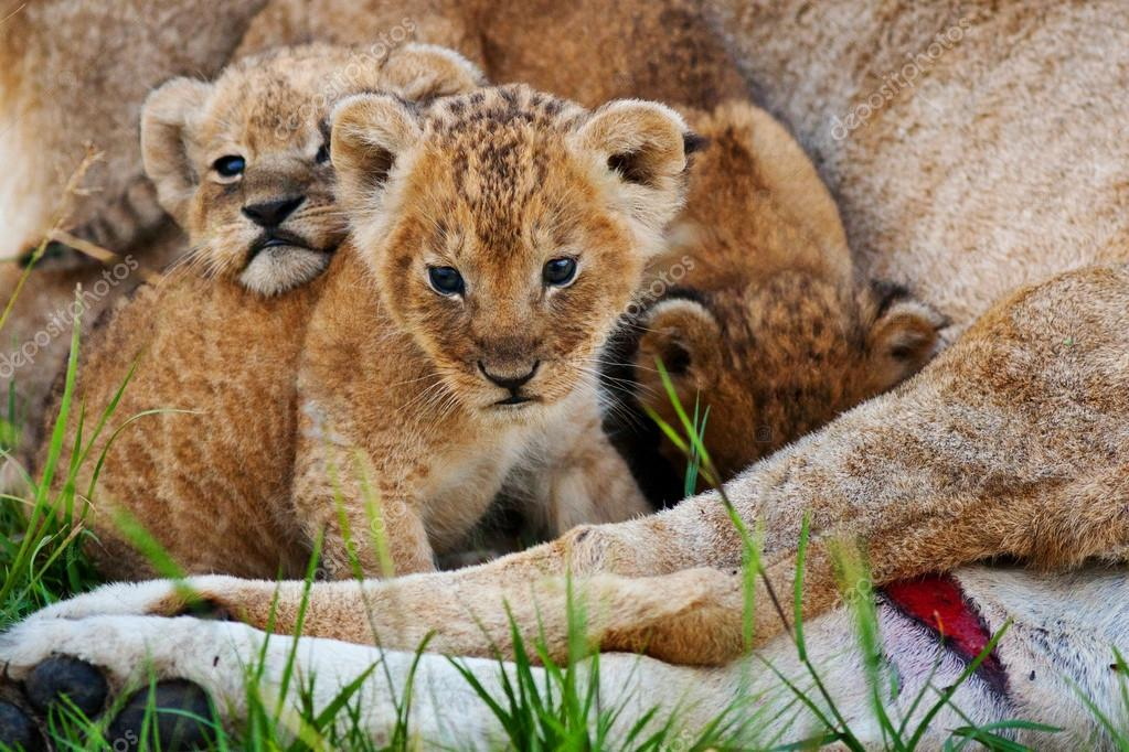 A group of baby lions