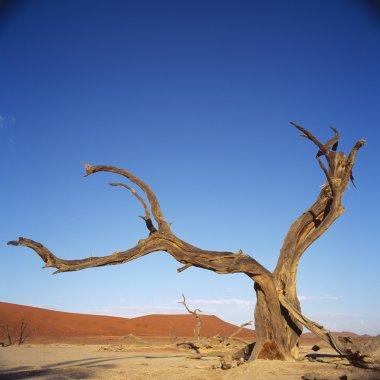 Tree in desert, Namibia