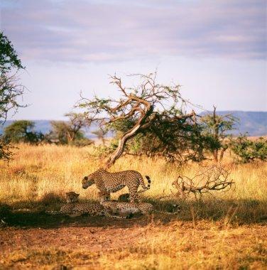 Group of cheetahs lying in shadow