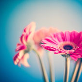 Fotografie růžový Gerber