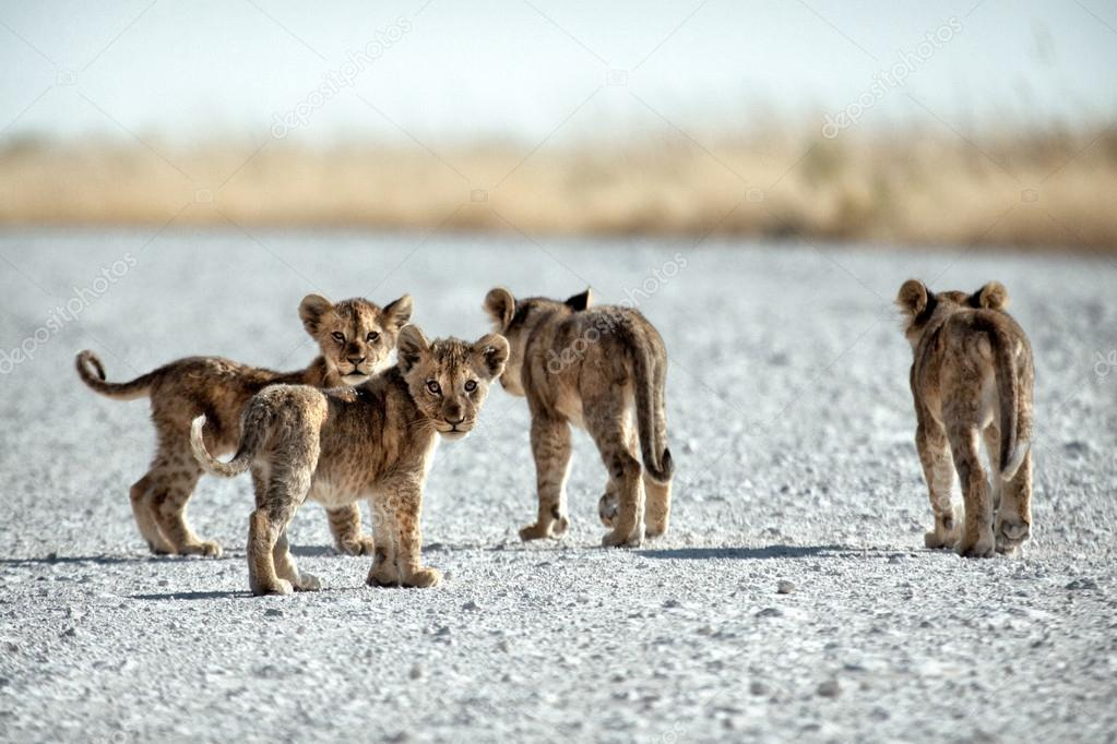 Little baby lions