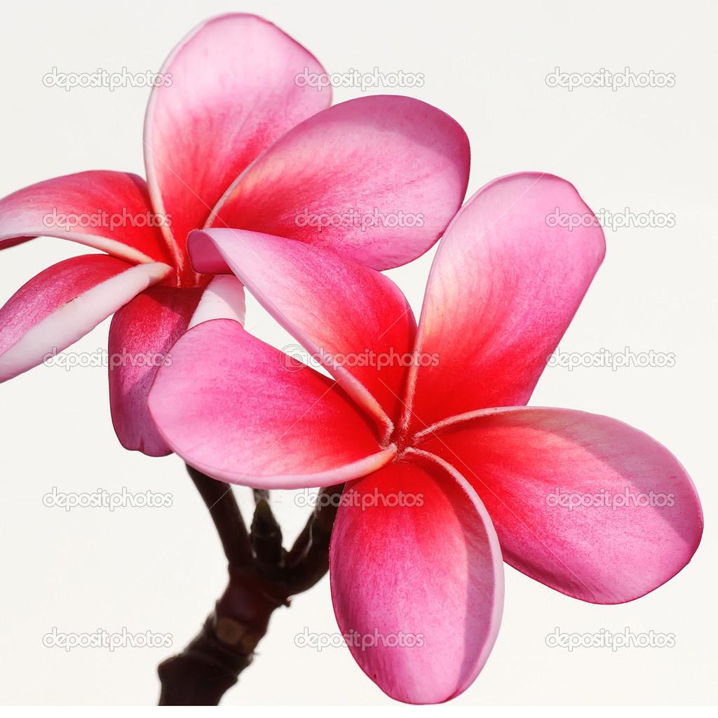 Frangipani flowers on the background