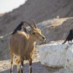Постер, плакат: Birds eating parasites from Ibex Jehuda Desert Israel