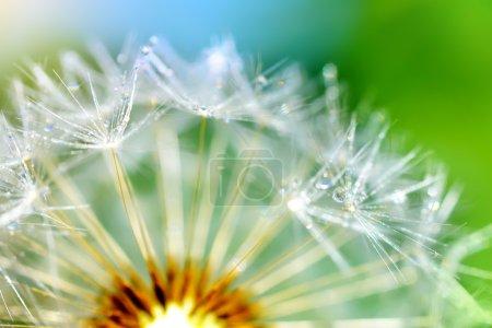 Dandelion flower. macro