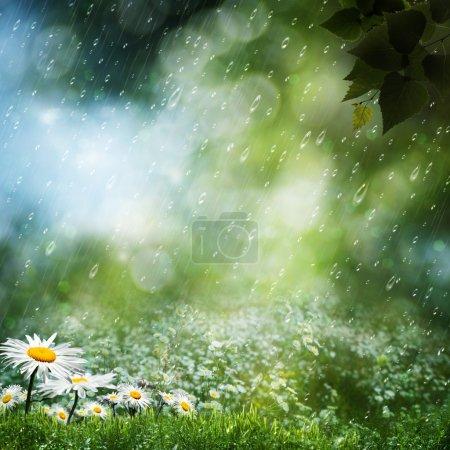 Photo pour Fleurs de marguerite sous la pluie douce, milieux naturels - image libre de droit