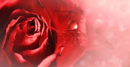 Pink tenderness. red rose with water droplets, abstract backgrounds