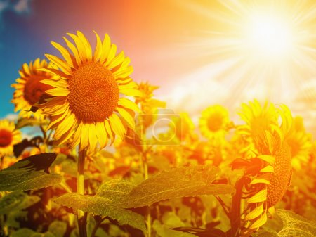 Photo for Happy Meadow. Sunflowers field under golden summer sun - Royalty Free Image