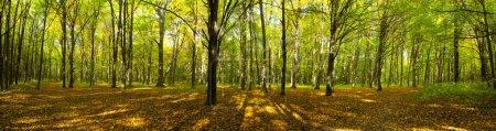 Photo pour Automne arbres de la forêt. origines du vert bois soleil nature. - image libre de droit