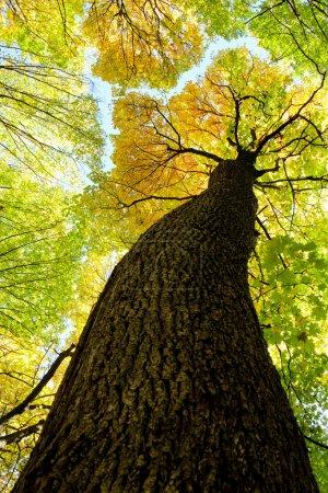 Photo pour Arbres forestiers d'automne. nature vert bois lumière du soleil milieux . - image libre de droit