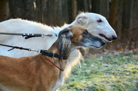 Portrates of hunting dogs