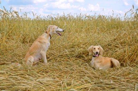 Two Kazakh greyhounds