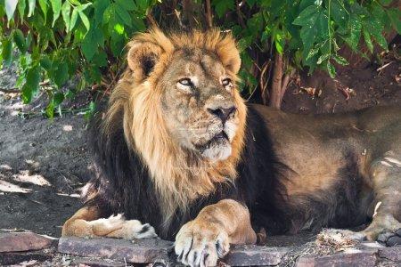 Photo pour Roi des animaux - Lion mâle africain dans le zoo - image libre de droit