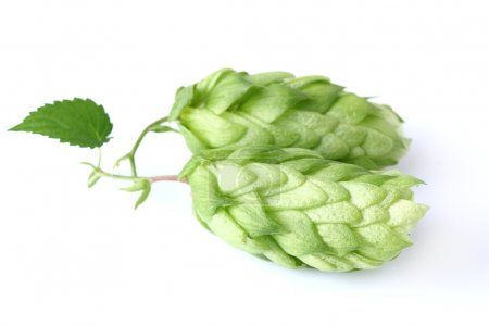 Green hop with leaf