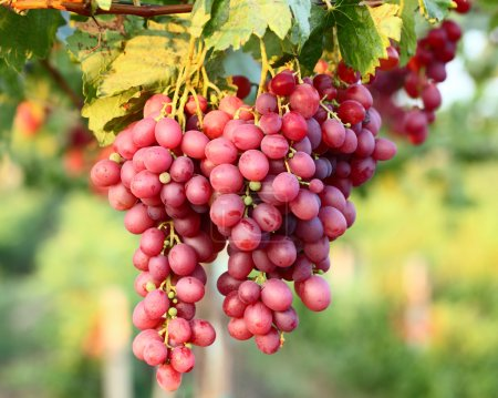 Photo for Grapes with leaves - Royalty Free Image