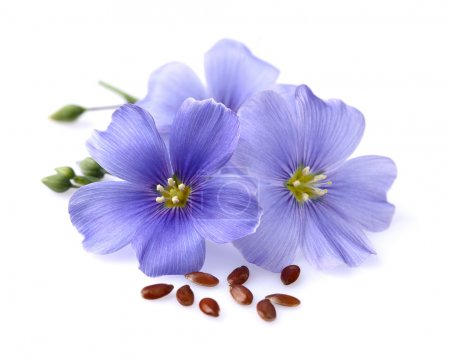 Photo for Flax flowers with seeds - Royalty Free Image