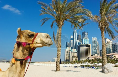 Camel at the urban building background of Dubai.