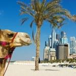 Camel at the urban building background of Dubai. U...