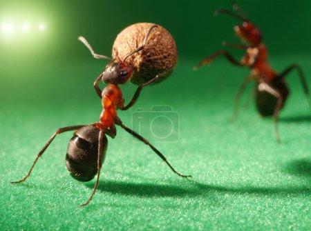 Ants night football