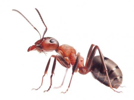 Photo pour Rouge ant formica rufa sur fond blanc - image libre de droit