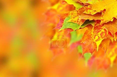 Photo pour Feuilles d'érable automne - image libre de droit