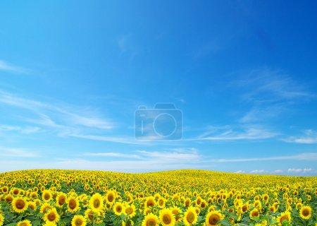 Photo pour Champ fleuri de tournesols sur ciel bleu - image libre de droit
