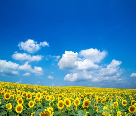 Photo for Sunflowers on a blue sky - Royalty Free Image