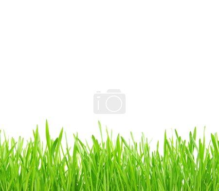 Foto de Hierba verde aislada sobre fondo blanco - Imagen libre de derechos