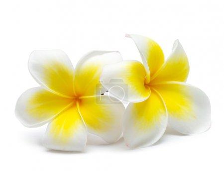 Photo pour Fleur frangipani sur fond blanc - image libre de droit