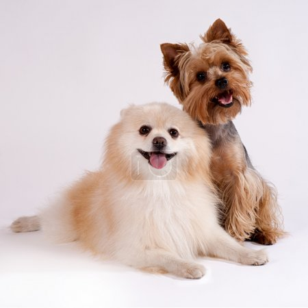 Two small dogs on a white background. Yorkshire Terrier and Spit