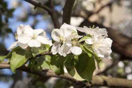Spring blossoming apple tree