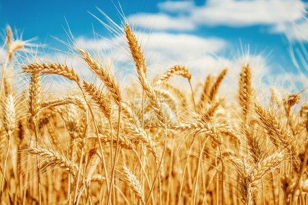 Photo pour Champ de blé d'or et ciel bleu - image libre de droit