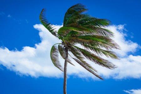 Photo pour Palmier dans un vent fort contre le ciel - image libre de droit