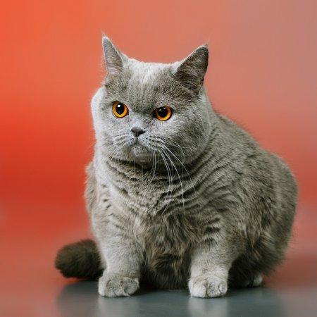 Photo pour Chat à poil court britannique bleu, sur fond rouge - image libre de droit